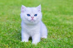 One White Kitten Sitting On Green Grass Royalty Free Stock Photography