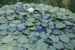 Lily pads in a pond stock images