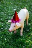 Pig piglet little white background wicker cute breed new year happy grass one holiday caps red birthday party stock photos