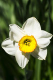 One white narcissus Royalty Free Stock Photography
