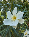 One white oleander flower closeup Stock Image