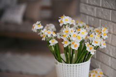One white and orange beutiful narcissus royalty free stock images