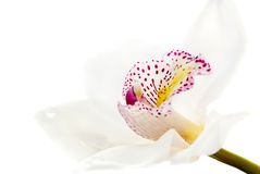 One white orchid  Stock Images