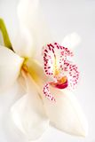 One white orchid  on white background Royalty Free Stock Photography