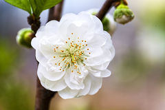 One white peach blossom Royalty Free Stock Images