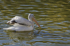 One white pelican with outspread wings Royalty Free Stock Photos
