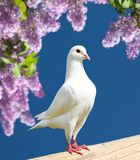One white pigeon Royalty Free Stock Photo