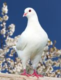 One white pigeon on flowering background Stock Image