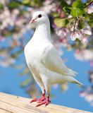 One white pigeon on flowering background Royalty Free Stock Photo