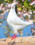 One white pigeon on flowering background Stock Photos
