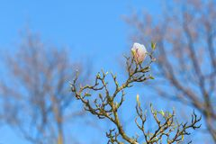 Magnolia branch-one flower on blue sky stock image