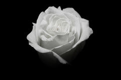 One white rose in black background. Black and white style - one white rose in black background stock image