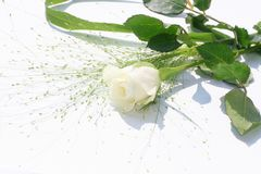 One white rose over white Royalty Free Stock Photos