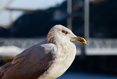 One white seagull Royalty Free Stock Image