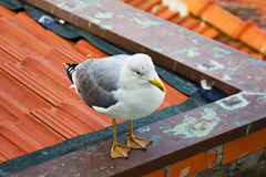 One white seagull is sitting on a roof Royalty Free Stock Photography