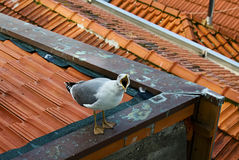 One white seagull is sitting on a roof Royalty Free Stock Photos
