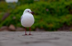 White seagull standing on the road. One white seagull standing on the road royalty free stock photos