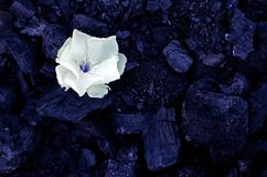 One white small flower lies on the background of black coals royalty free stock image