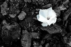 One white small flower lies on the background of black coals stock photo
