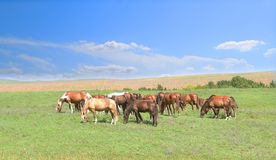 One white standout horse in the herd among brown horses against the background of a colorful blue sky and green hills royalty free stock image