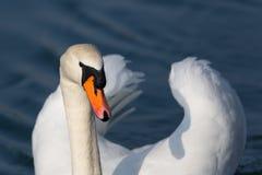 One white swan Cygnus olor swimming Stock Photo