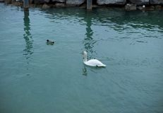 One white swan and one duck floating in lake. Sky reflection on water royalty free stock photo