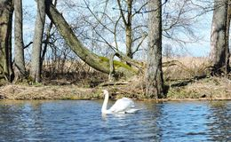 Beautiful chanel, swan and nice trees, Lithuania Stock Images