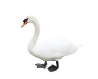 One white swan, isolated Royalty Free Stock Image