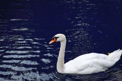 White swan swims on lake green water. One white swan on lake blue water in the wild. Beautiful graceful swan swimming in a pond Stock Photos