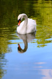One white swan portrait in the wild -Water Reflection Royalty Free Stock Photo