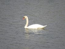 One white Swan swimming in the river royalty free stock photography