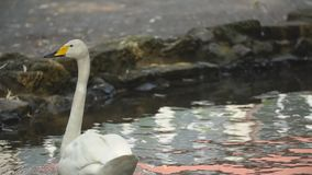 Swan swims in the lawn. One white swan swims in the lawn stock footage