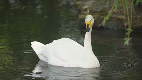 Swan swims in the lawn. One white swan swims in the lawn stock video footage