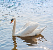 One white swan swims Royalty Free Stock Image