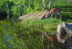 One White tailed deer fawns reflections in water. Stock Image