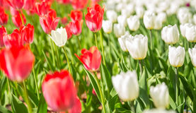 One white tulip among red ones Stock Photo