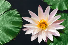 One white water lily. And leaves in a pond, selective focus on the flower center Stock Photo