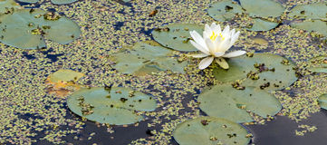 One White water lily on pond surface. One White water lily and leaves, Nymphaeaceae, floating on pond surface, upstate rural New York Royalty Free Stock Image