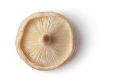 One whole fresh single shiitake mushroom Royalty Free Stock Photos