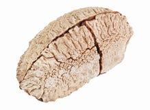 One whole single shelled Brazil nut Stock Image