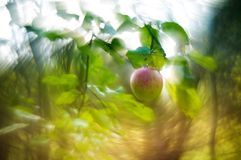 One wild apple tree in forest stock photography