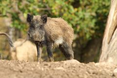 One wild boar Royalty Free Stock Images