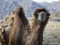 One Wild camel in Kyrgyzstan Stock Photography