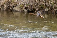 One wild duck female flying over the river. Wild duck flying over the river Stock Photography