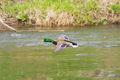 One wild duck flying over the river. Wild duck flying over the river Royalty Free Stock Photos
