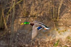 One wild duck flying over the river. Wild duck flying over the river Royalty Free Stock Photography