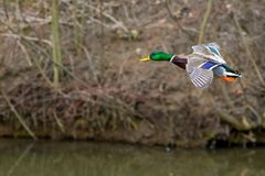 One wild duck flying over the river. Wild duck flying over the river Stock Photos