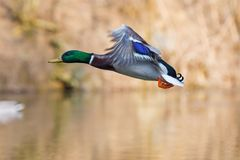 One wild duck flying over the river. Wild duck flying over the river Royalty Free Stock Photo