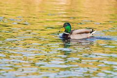 One wild duck, male swims in the lake. Wild duck, male swims in the lake Stock Image