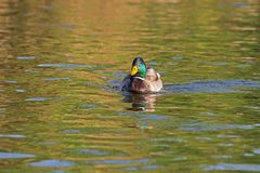 One wild duck, male swims in the lake. Wild duck, male swims in the lake Royalty Free Stock Photography